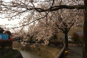 馬場川緑道の桜