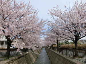 13日満開の桜