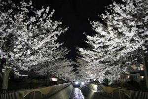 2014年4月御経塚馬場川緑道の桜
