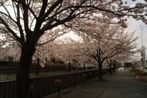 2012年4月馬場川緑道の桜