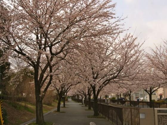 2012年4月馬場川緑道の桜並木