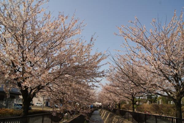 20130413 馬場川緑道の桜並木
