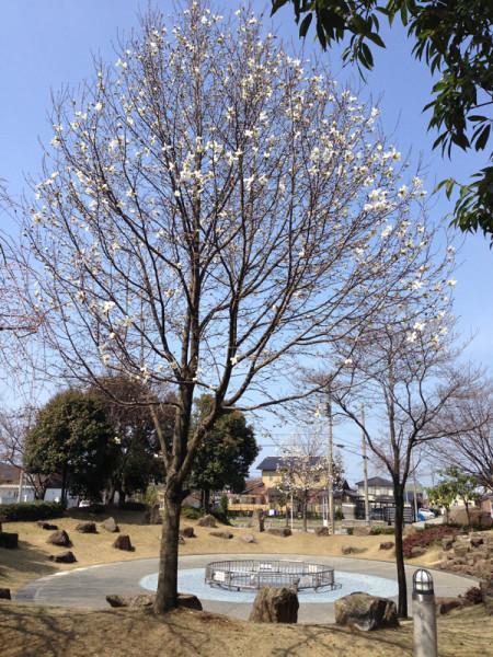 泉の広場 コブシの木