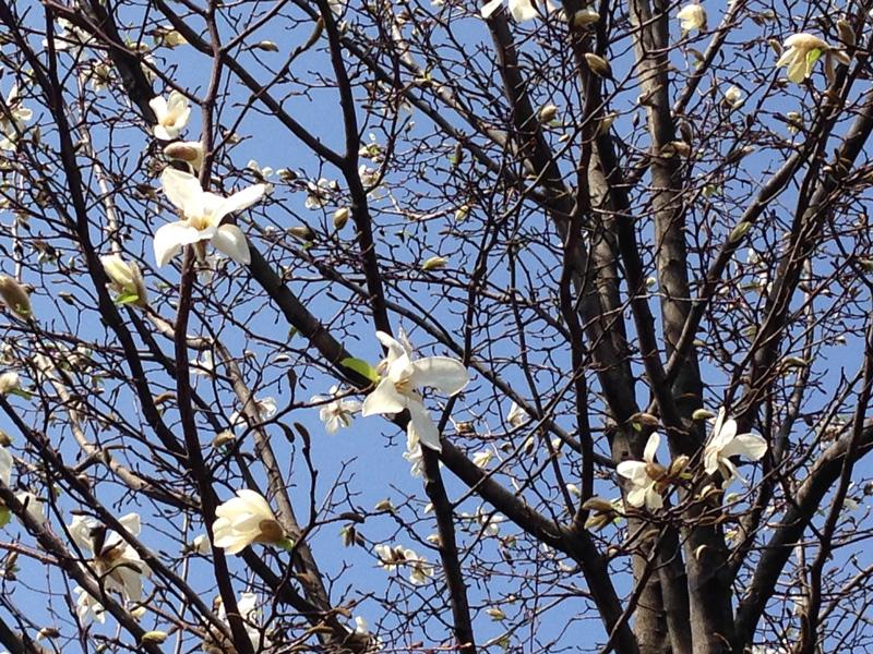 泉の広場 コブシの花