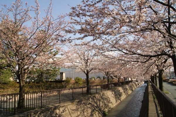 馬場川緑道の桜 2014年4月5日撮影