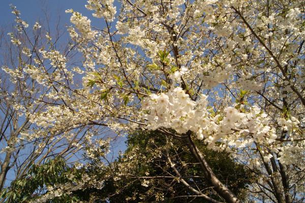 泉の広場の桜 2014年4月5日撮影
