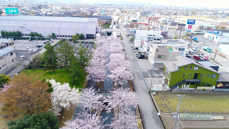 御経塚馬場川緑道の桜